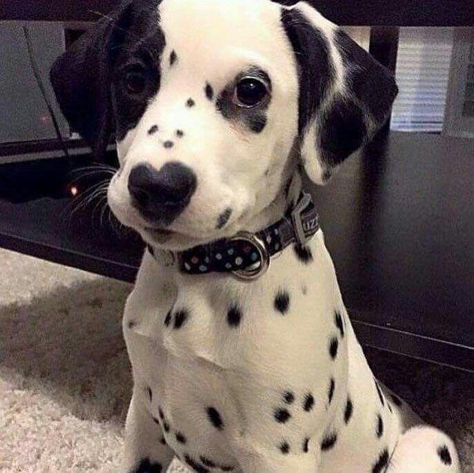Fantastic Dalmation Chubby Adorable Dog - 6ee3beab91d71cf446c9a2e72230b62d  Image_100844  .jpg