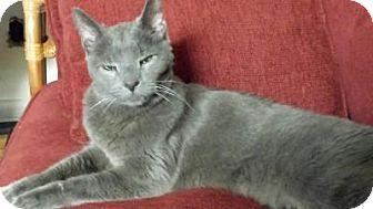Edgewater Nj Russian Blue Meet Perrie A Cat For Adoption Http Www Adoptapet Com Pet 15075305 Edgew Cat Adoption Russian Blue Cat