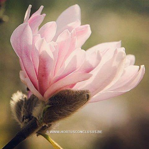 Magnolia stellata 'Keiskei Plena' #gardening #tuinieren #jardinage #gartenarbeit #magnolia #flowers #bloemen #fleurs #blumen #tree #boom #arbre #baum #hortusconclusus #treenursery #boomkwekerij #pépinière #baumschule #uitbergen #berlare #zele #wichelen #schellebelle #lokeren #schoonaarde #dendermonde #laarne #beervelde #kalken #wetteren