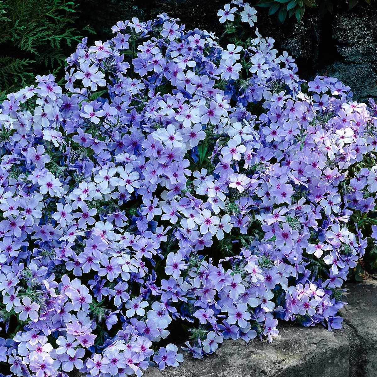 Waldphlox Chattahoochee | Pflanzen für den Garten | Pinterest ...