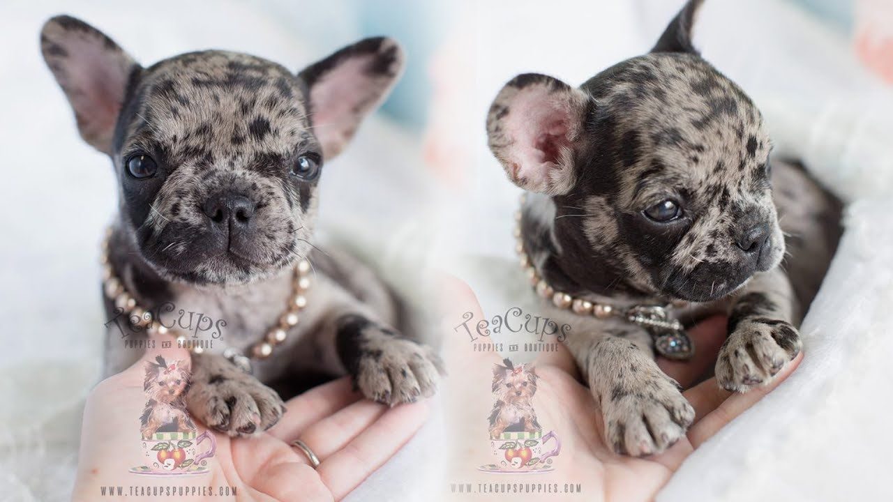 adorable rare merle french bulldog | teacups, puppies