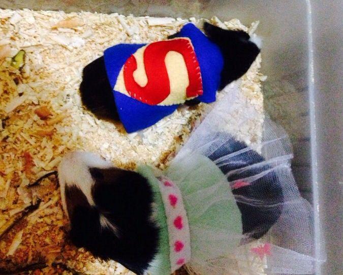 Mi cobayo/ guinea Pig, Lolo❤️ y su hijo