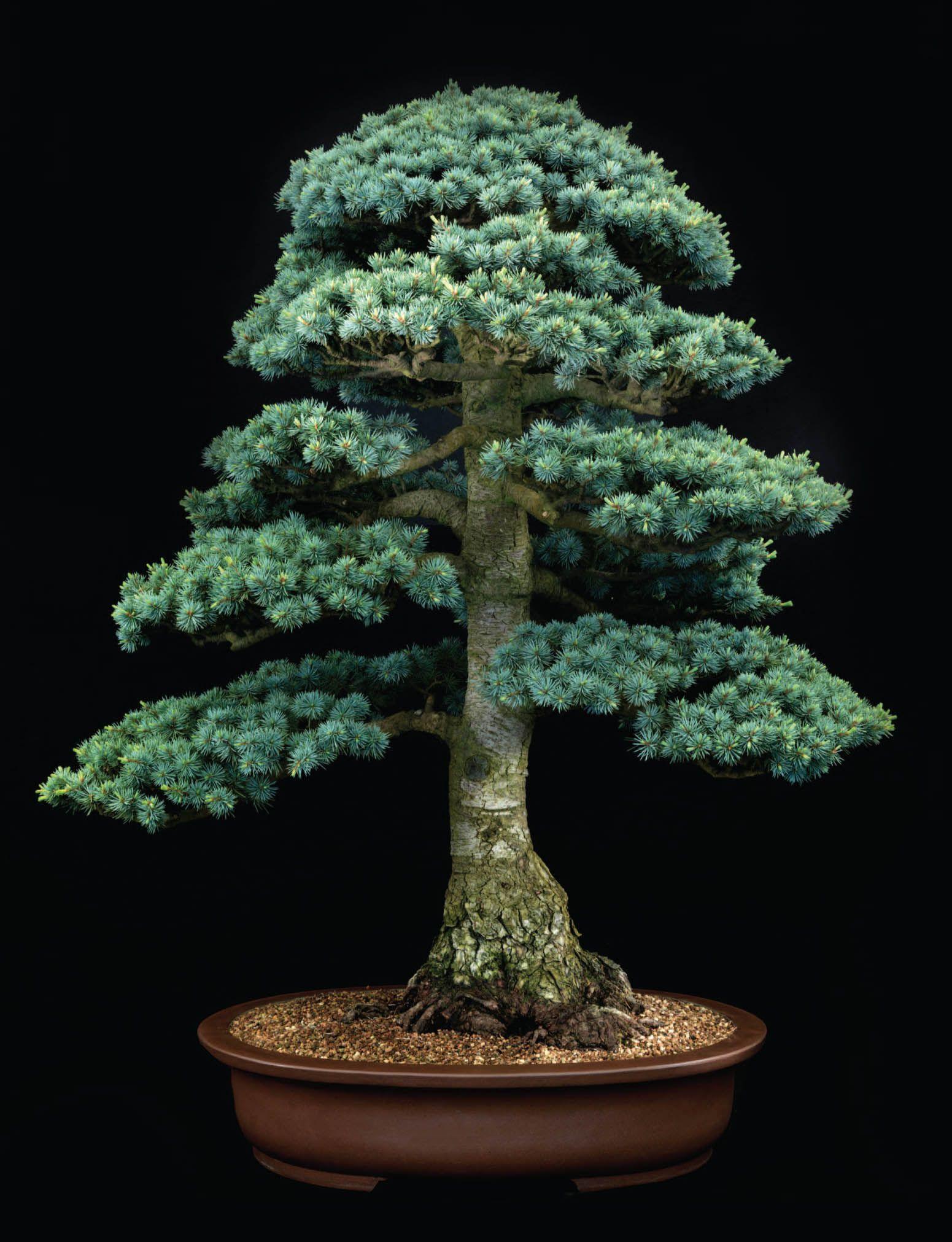 Bonsai As Natural History Shaped By Artists Bonsai Tree