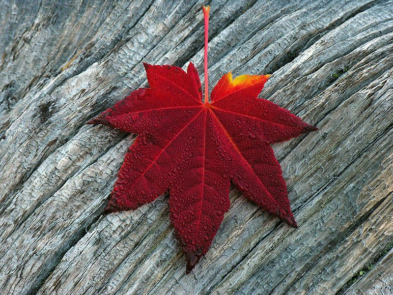 Red Vine Maple Leaf 0052 by photoguy17