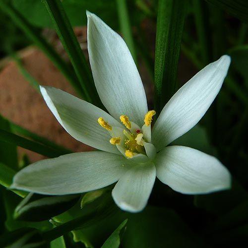 Star Of Bethlehem Flower Ornithogalum Umbellatum Star Of Bethlehem Shade Perennials Fall Flowers