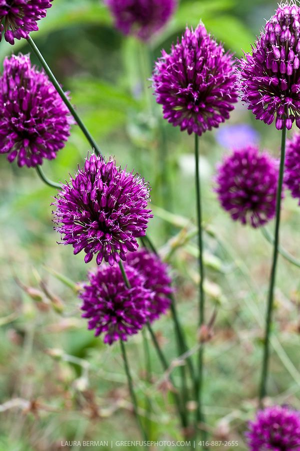 The Large Purple Flowers Of The Drumstick Allium A Member Of The Ornamental Onion Family Allium Sphaerocephalon Allium Sphaerocephalon Purple Flowers Plants