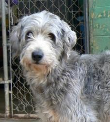 Adopt Zorro On Poodle Mix Poodle Rescue Dogs