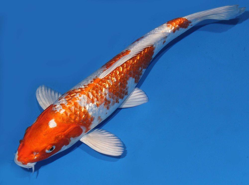 Live Koi Fish 13 14 Gin Rin Orange Hariwake White Sparkling Scales Koibay Live Aquarium Fish Koi Koi Fish