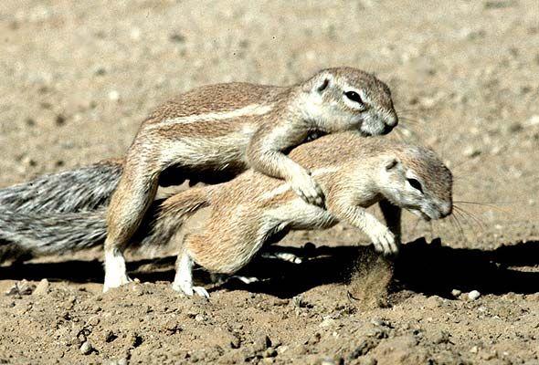 Mountain Ground Squirrel Xerus Princeps Squirrels