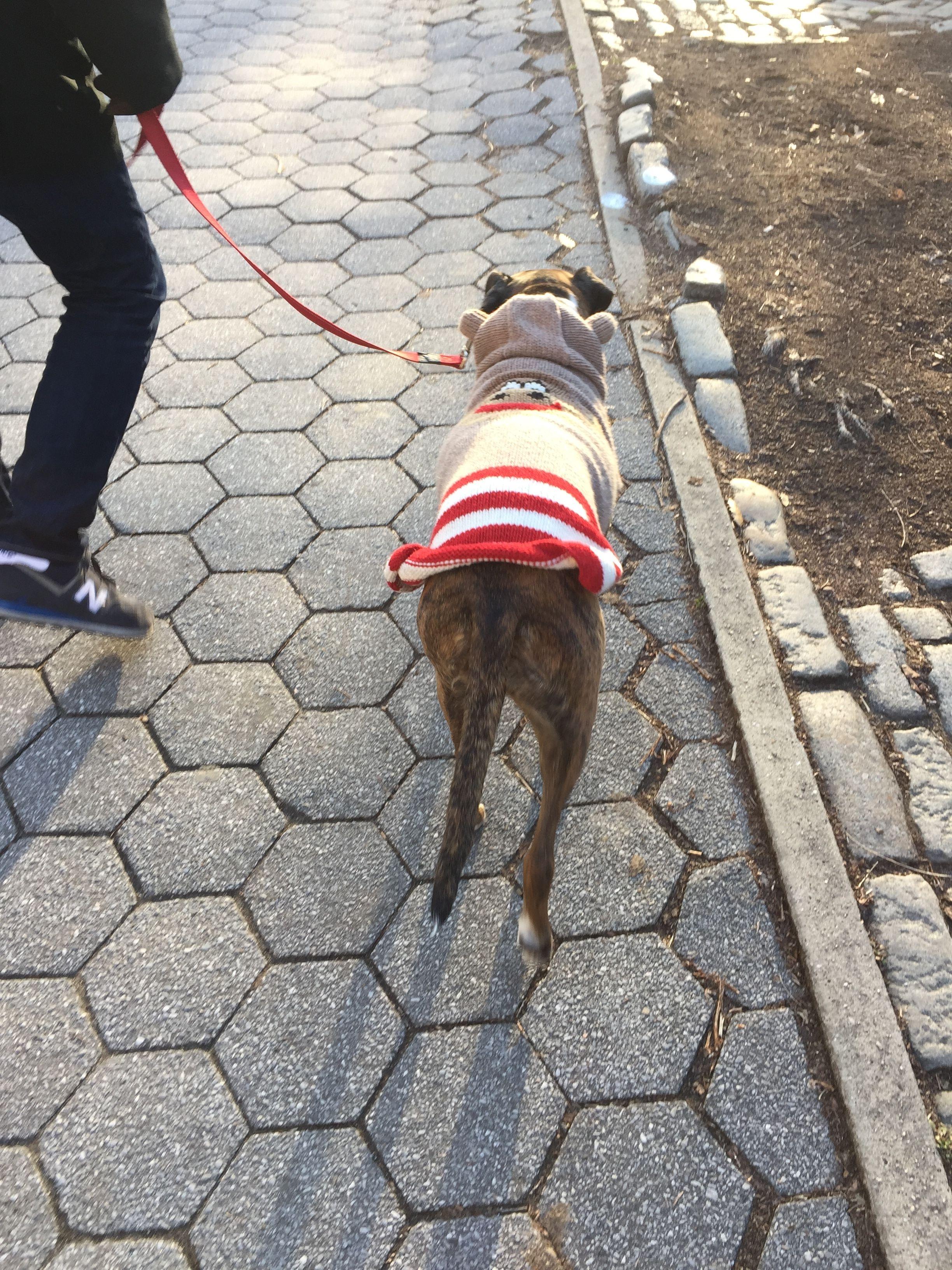 ニューヨークでは犬もファッション 冬になると多くの犬が可愛い服を来て街を歩く姿をみることができます 犬 ニューヨーク ファッション 服 ワンちゃん 散歩 ペット New York