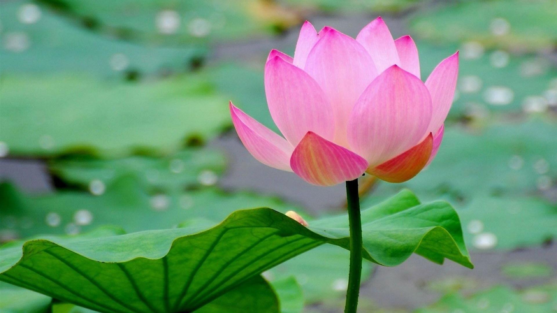 lotus flower wallpaper lotus pink paper house flowers desktop flower hd wallpaper