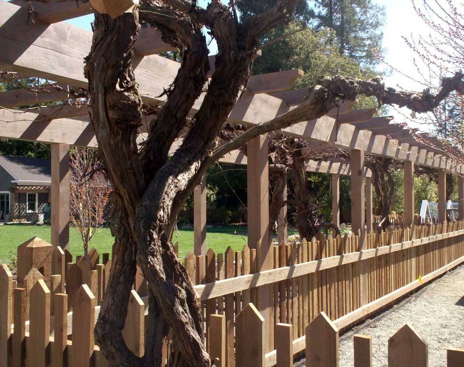 Trellis bearing wine grapes and natural picket fence.