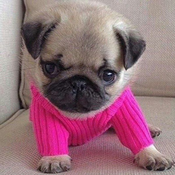 31 Adorable Animals In Sweaters Baby Pugs Cute Pug Puppies Pug
