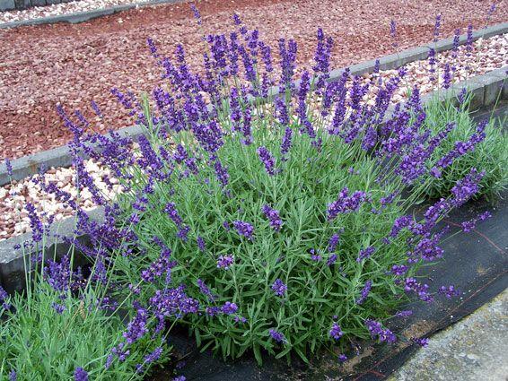 lavandula angustifolia 39 dwarf blue 39 tuin beplanting. Black Bedroom Furniture Sets. Home Design Ideas