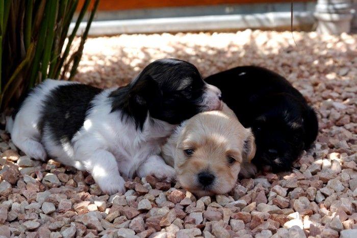Adorable Paws / C-Wurf Havaneser Welpen, 11.07.2016, 3 Wochen alt, Züchter Daniela Krüger