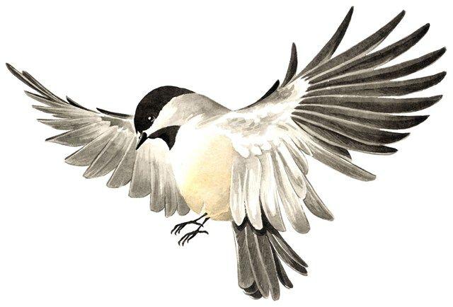 Chickadee   Bird drawings, Loose watercolor flowers ... - photo#15