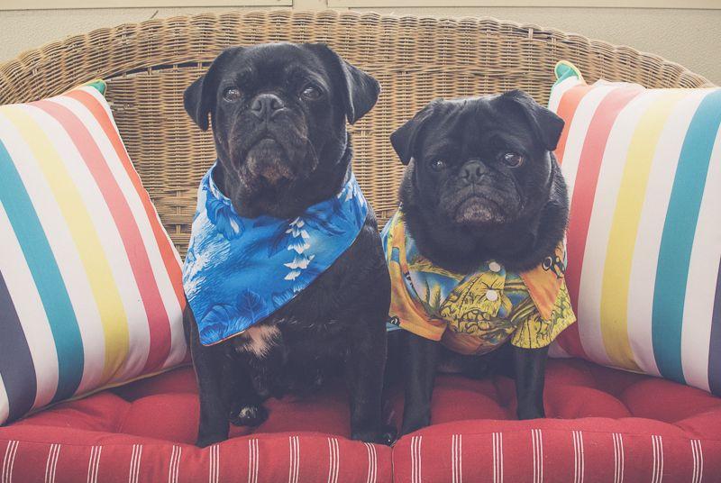 Social Pug Profile Interviews With Pugs Pugs Cute Pug Puppies