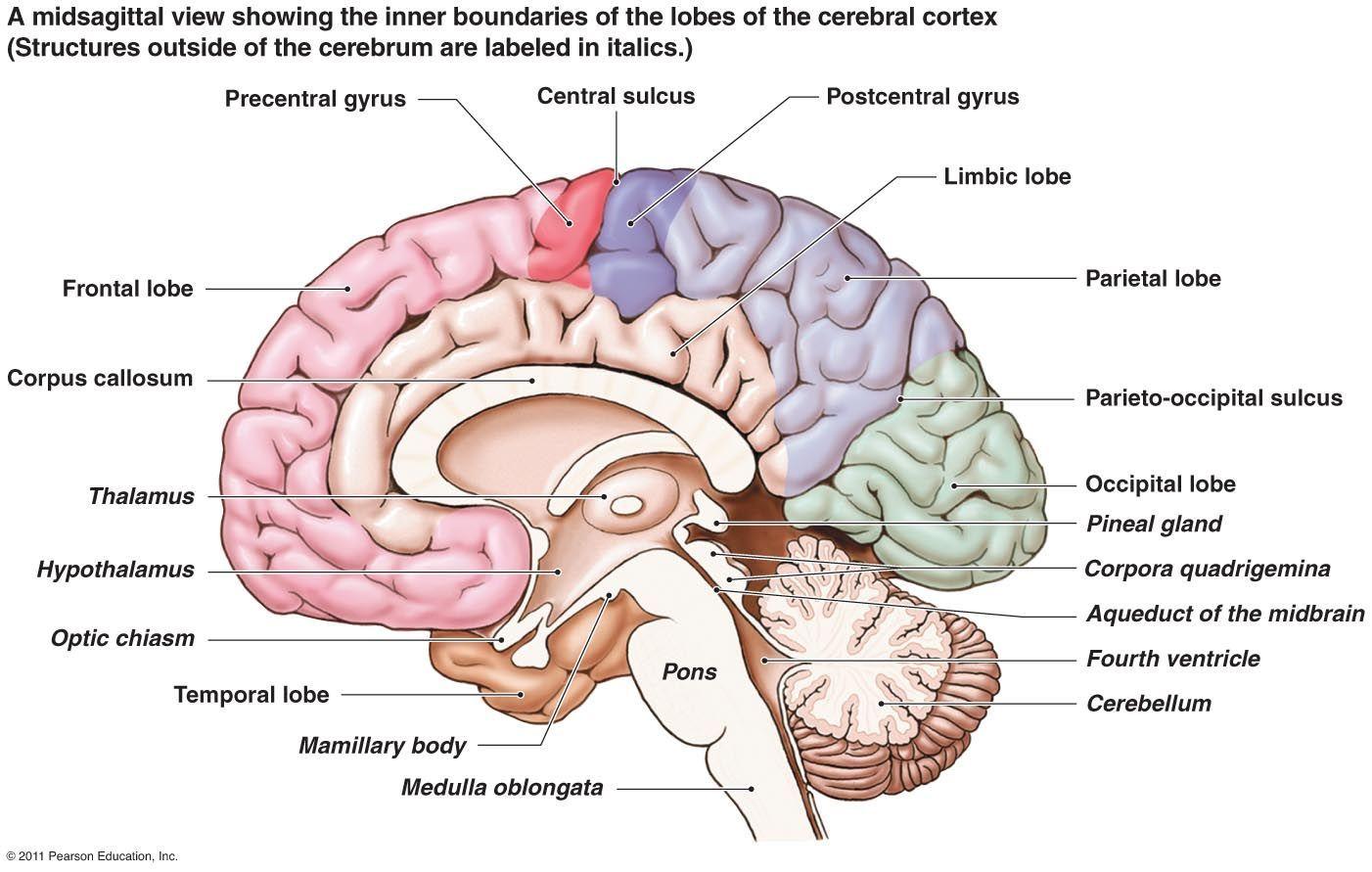 Labelled Diagram Of Brain Human Body Anatomy Pinterest Brain