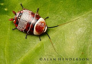 A very pretty insect from the order Blattodea (aka Cockroaches), from Australia.