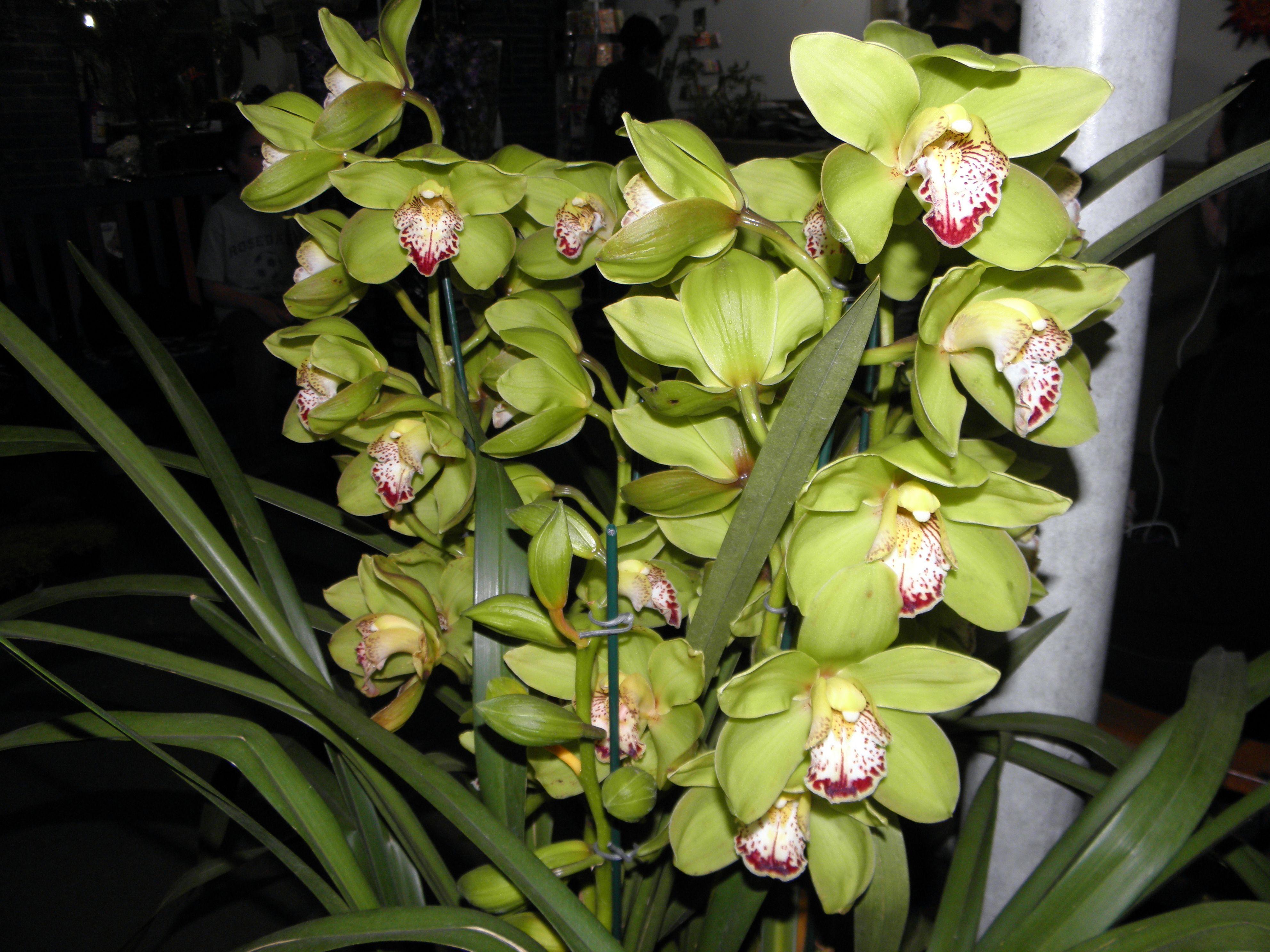 Orchid plant brazilian flower shop flowers pinterest orchid