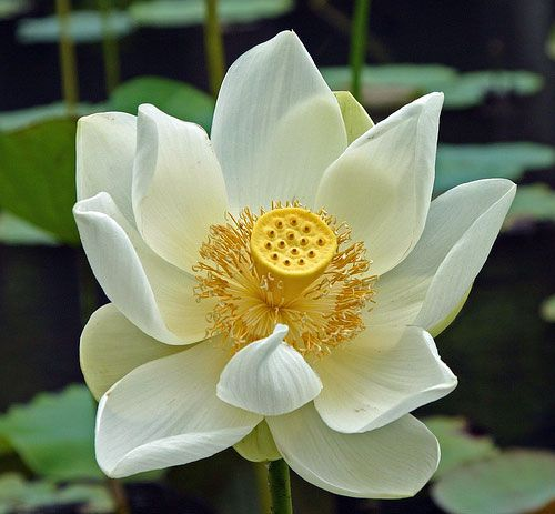Google Image Result For Httpferenczpictureswhite Lotus