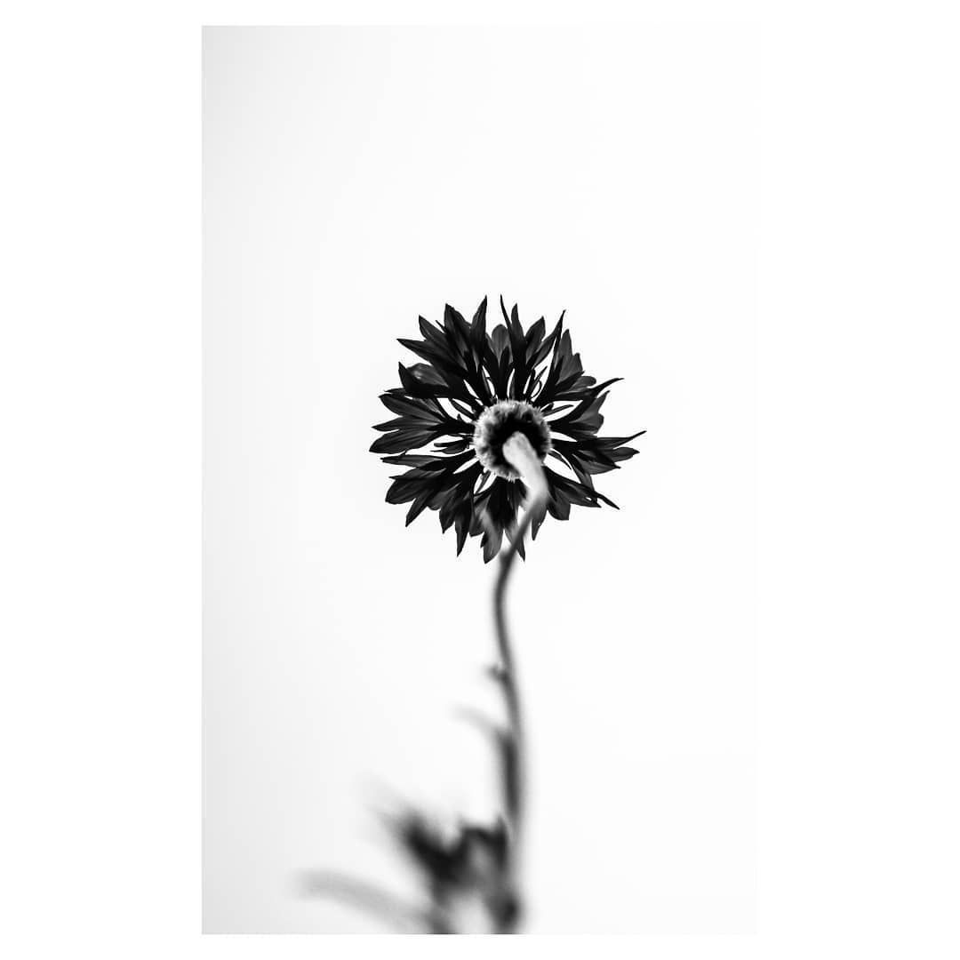 Bachelor's Button ❤️ . #flowers #flower #fleurs #fleur #flora #blackandwhite #blackandwhitephoto #instablackandwhite #blackandwhitephotography #flowerstagram #nature #naturephotography #naturelovers #nature_perfection #nature_brilliance #optoutside #garden #gardens #optoutside #macro #macro_brilliance #macro_perfection #macros #macrophotography #naturephotography #photography #photooftheday #michigan #sonyalpha