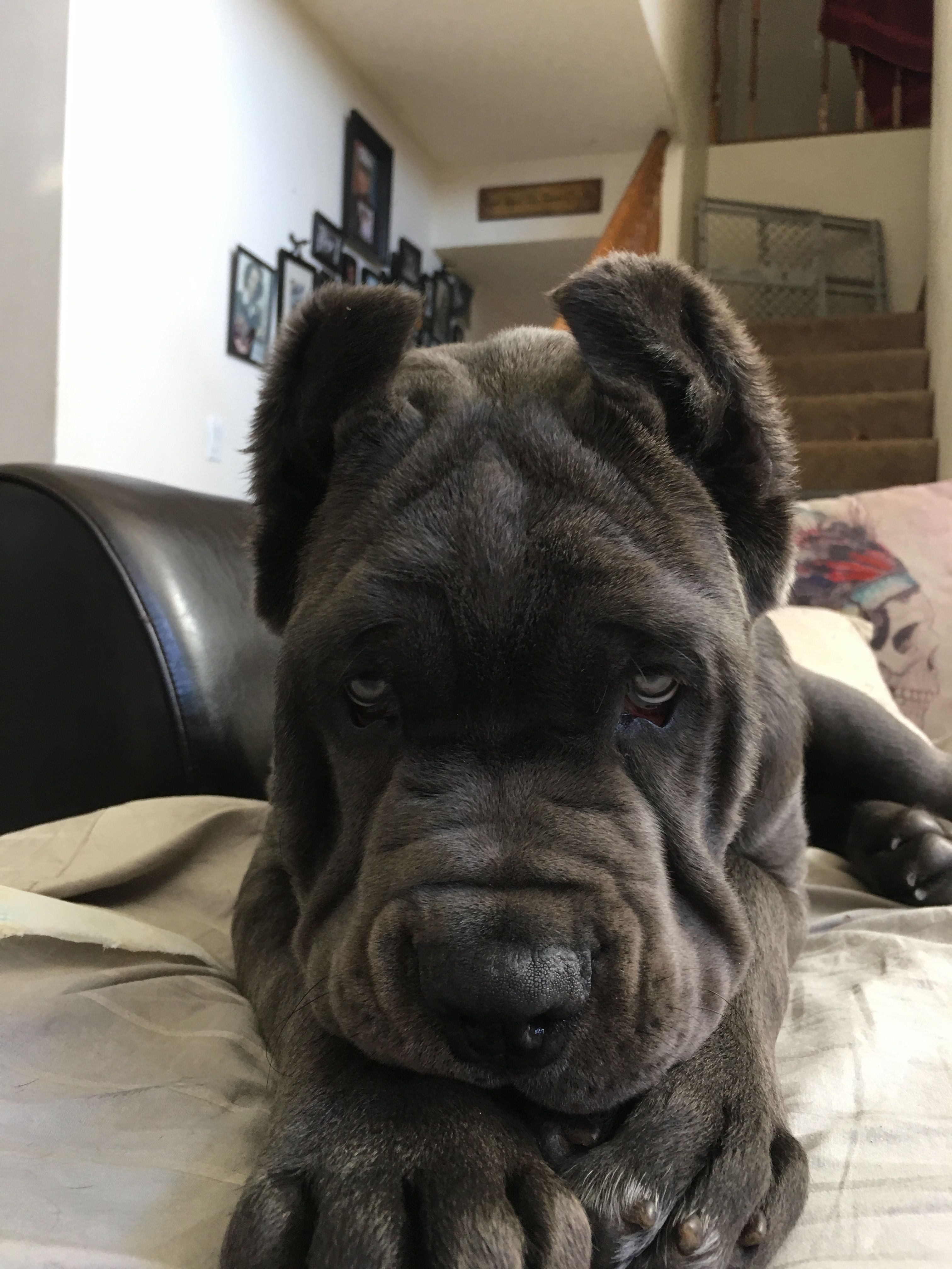 [12+] Cane Corso Dog Puppies For Sale Or Adoption At Conway