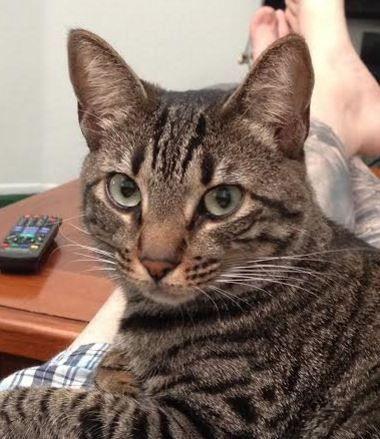 Adorable Bengal Mix Cat Seeks Quiet, No Kids Home in Los Angeles, CA