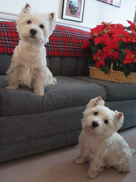 Christmas Cuties Westie Puppies Westie Dogs Baby Dogs