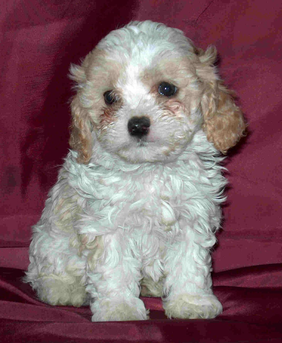 Cavapoo Puppy Oh my gosh I so want one!! so cute
