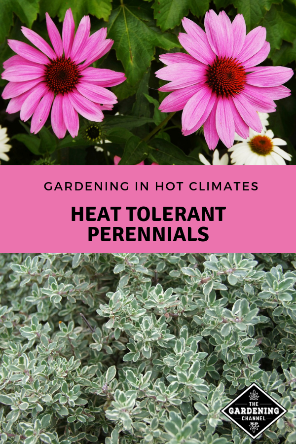 Gardening in Hot Climates Heat Tolerant Perennials is part of Perennials, Plants, Flowers perennials, Perennial plants, Easy garden, Flower garden - Perennial flowers often offer the best of all worlds easy care, no replanting or seeding required, and predictable growth, appearance, and outcomes  In hot climates, heat tolerant perennials are a must  Here's a list of heat resistant perennials that are worth growing  Give some of these a try  Did we leave out any good choices  …