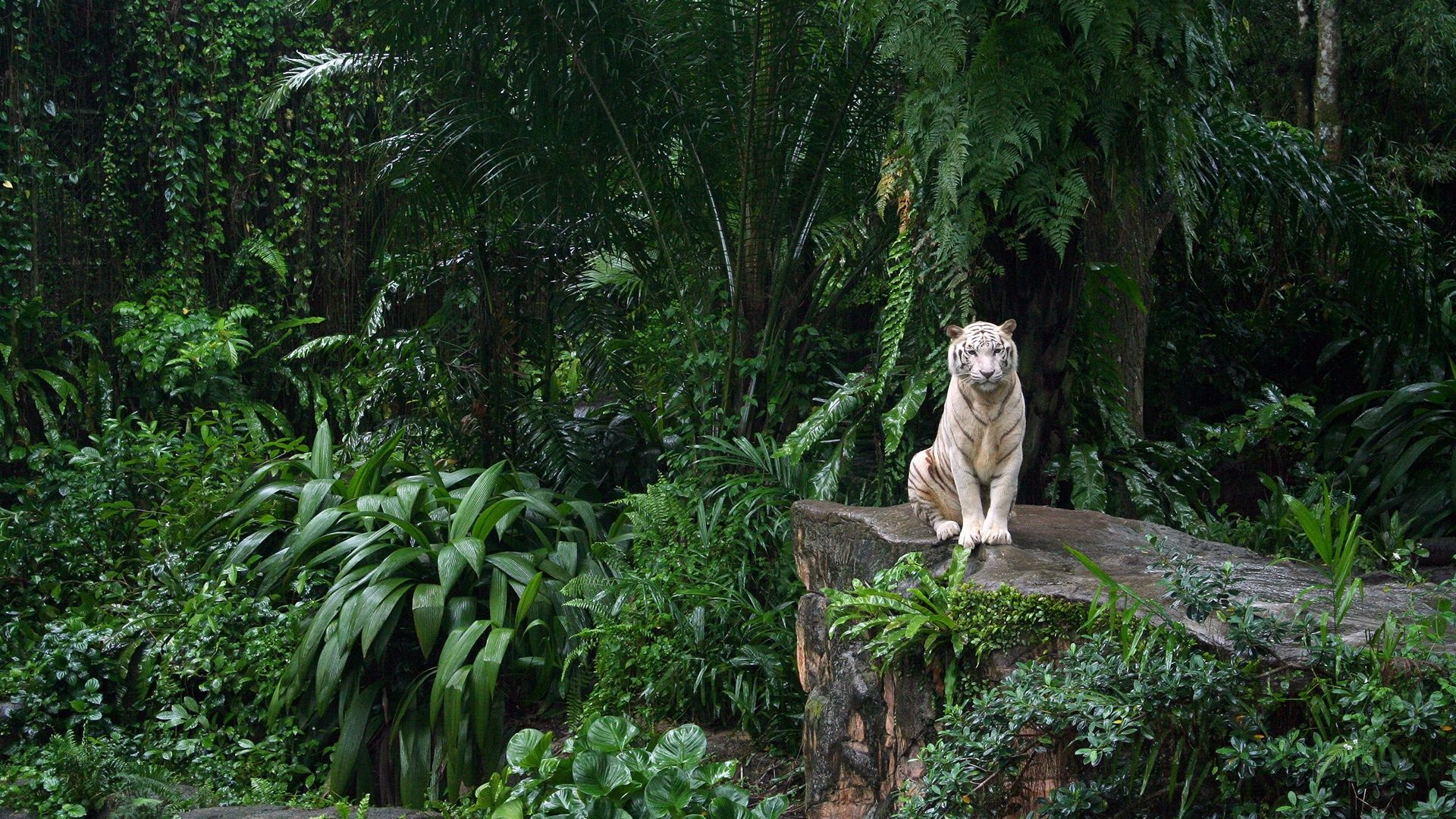 Animal White Tiger Tiger Cat Jungle Forest Plant Animal