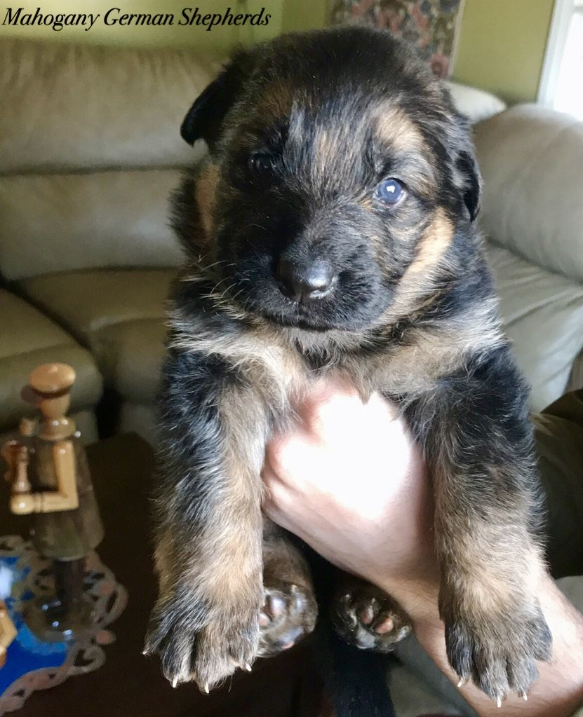 Pin By Mad Cat On 3 Gsd Puppies Best Puppies German Shepherd Dogs