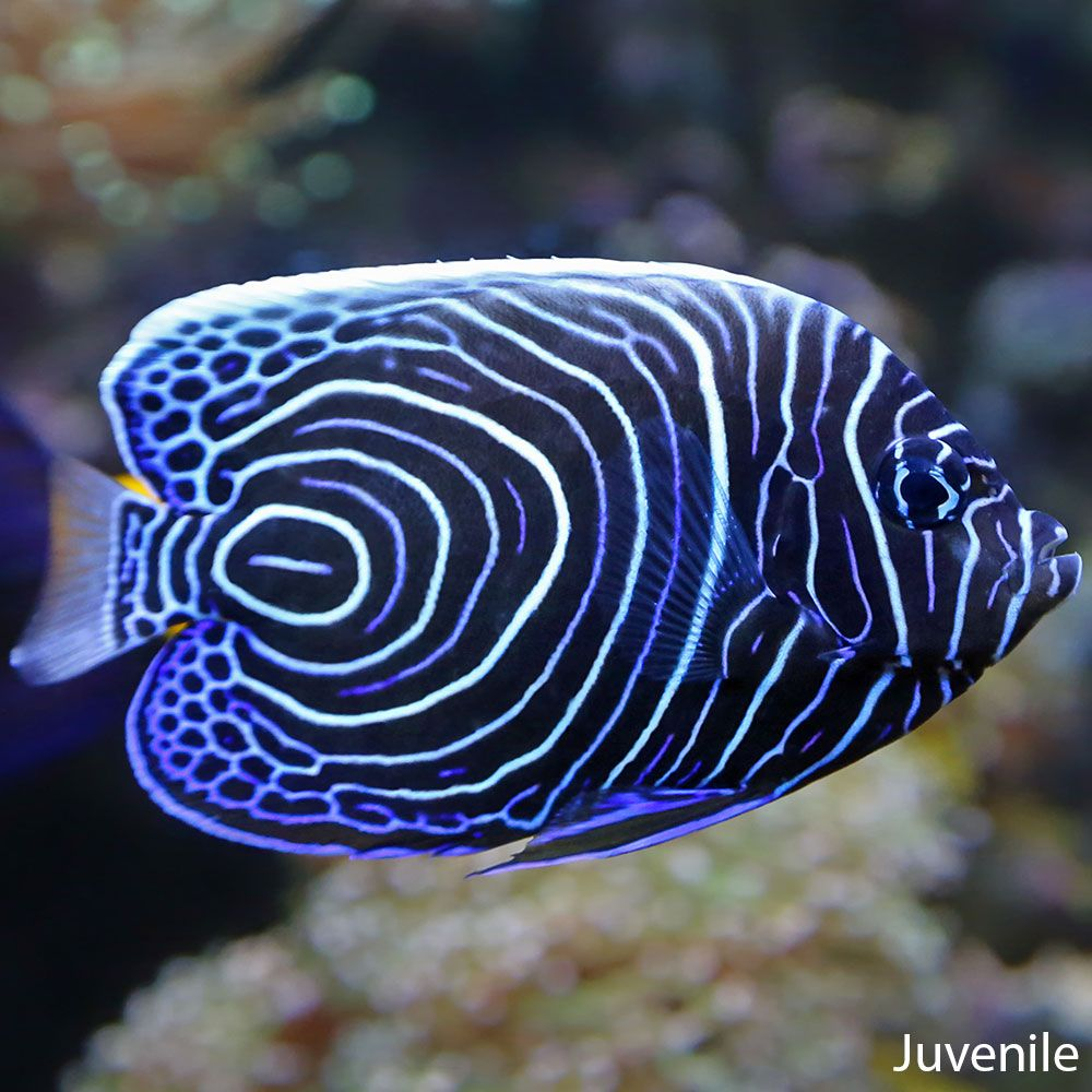 Imperator Angel Angel Fish Colorful Fish Beautiful Fish