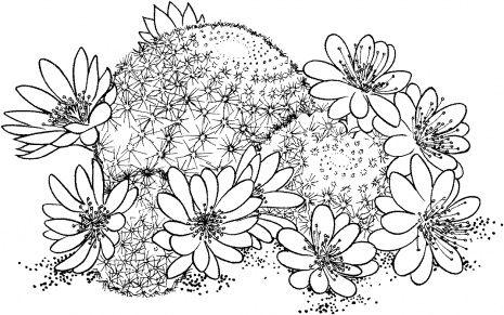 Drawing cactus Rebutia Deminuta or Crown Cactus   Riscos 1   Pinterest