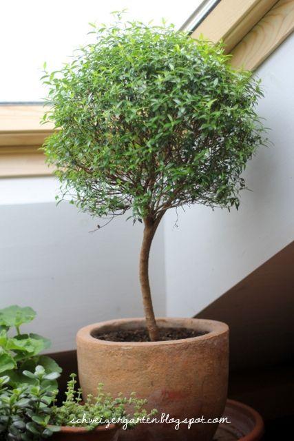 Lollipop Myrtle Tree Can Be Grown In A