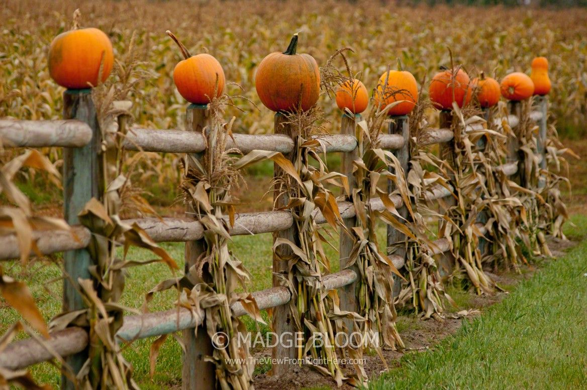 From Madge at The View from Right Here Pumpkins on a