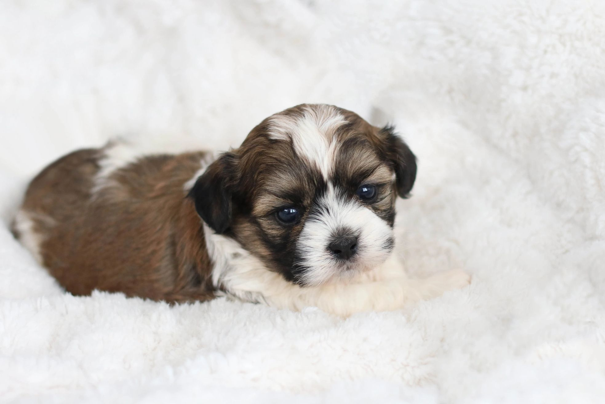 shih tzu mix puppies for sale mn