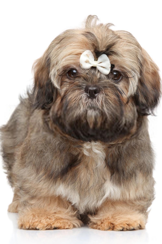 Baby Shih Tzu Puppies Baby Shih Tzu Shih Tzu Puppy Baby Shih Tzu Puppy Shih Tzu Dog