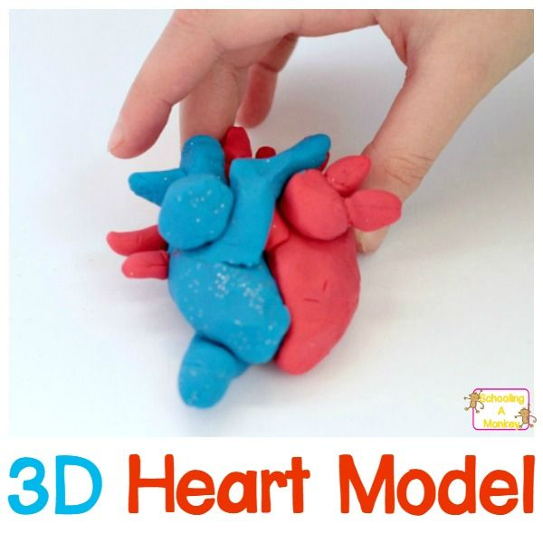 How to Make a 3D Heart Model Science experiments for