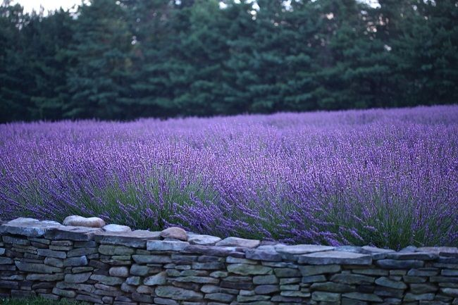 Carousel Farm Lavender Bucks County Pa 2 Philadelphia Pa Pinterest Carousel Lavender And