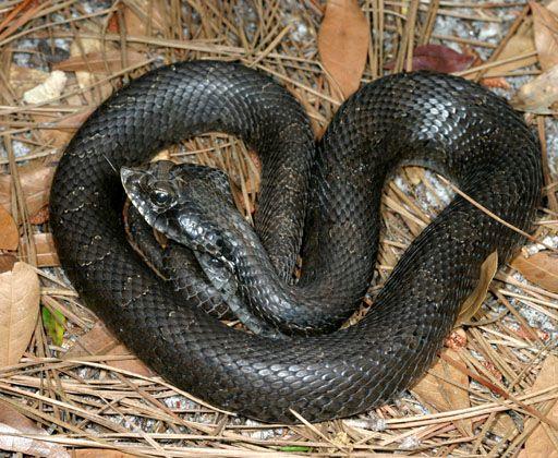 A Hillbilly Guide To Snakes Eastern Hognose Snakes Hognose Snake Snake Melanistic Animals