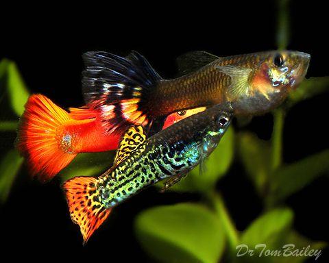 Fancy Guppies Tropical Fish Fish Aquarium Fish