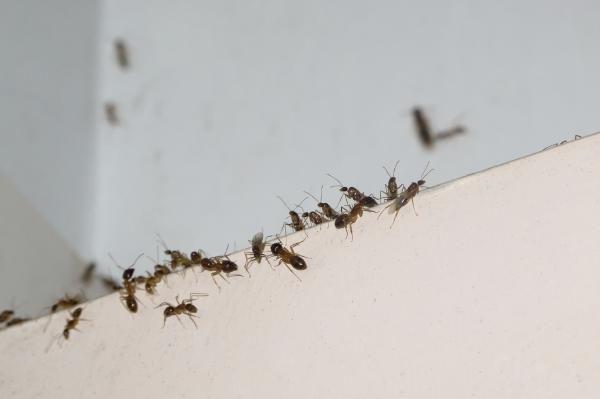 Como Acabar Con Las Hormigas En Mi Cocina Como Eliminar Las Hormigas De Mi Cocina Las Hormigas Son Uno De