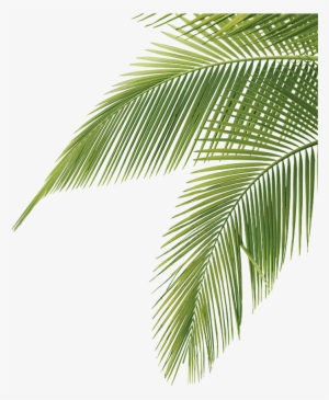 Tree Png For Free Download On Palm Tree Leaves Png Palm Tree Vector Palm Tree Png Tree Illustration