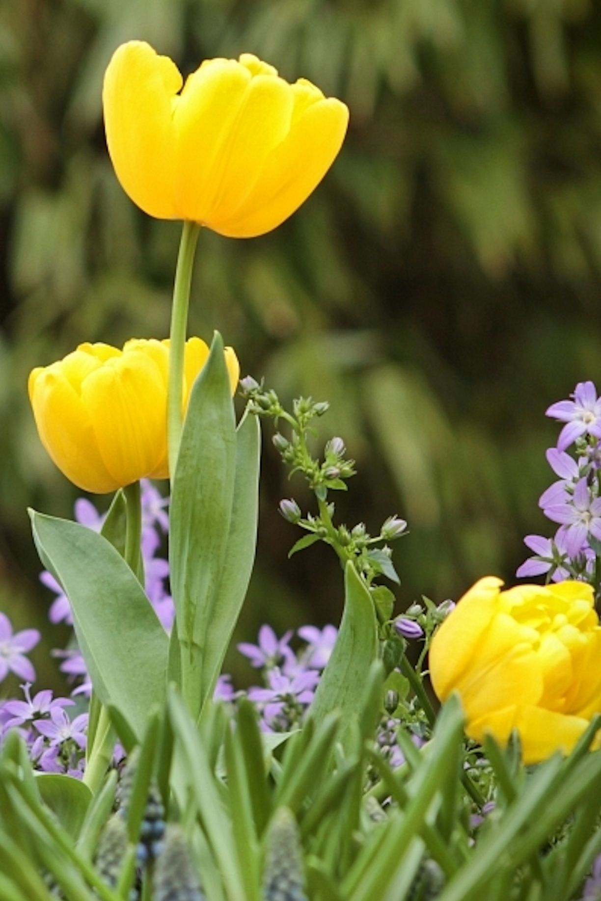 Yellow Tulips hopeless love (With images) Yellow