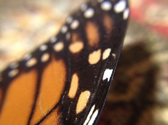"""""""Monarch Butterfly Wing Spots"""" photo by Allison Britten"""