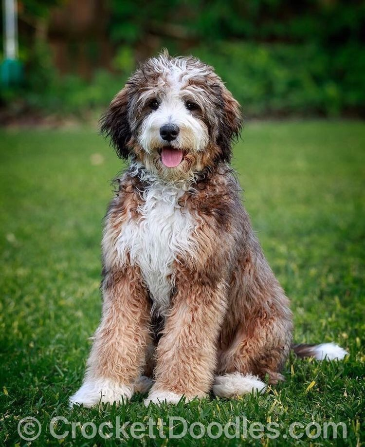To Find Out More About The Crockett Doodles Program And Our Puppies Please Visit Www Crockettdoodles Com Puppies Cute Dogs Breeds Pretty Dogs