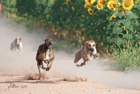 Pin By Diana Forsythe On Awwwww Grey Hound Dog Greyhound Pictures Dogs