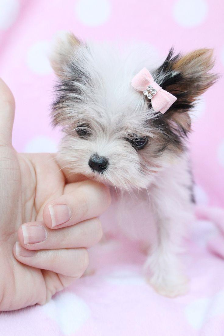 Yorkshire Terrier Cutie Yorkshireterrier Yorkshire Terrier Puppies Biewer Yorkie Terrier Puppies
